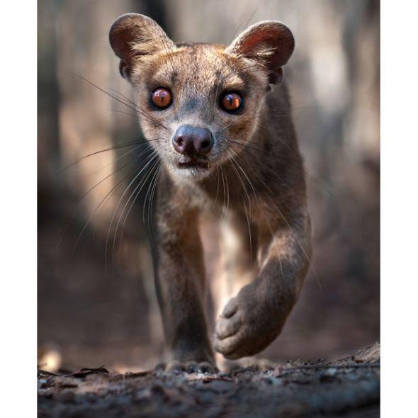 雌性马岛獴-马达加斯加密林深处奇异物种