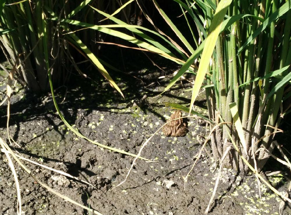 图2 有机稻田里的青蛙-有机稻田里的小生灵 生态健康的指示物种