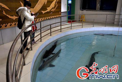 """拯救""""水中大熊猫"""" 探访中华鲟繁殖保护全过程(组图)"""