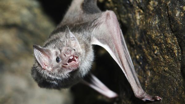 科学家破译蝙蝠聊天内容:对飙垃圾话