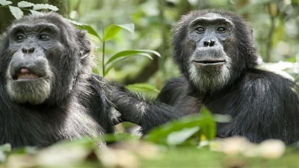 跟人类最匹配动物就是黑猩猩:也会感恩分享食物