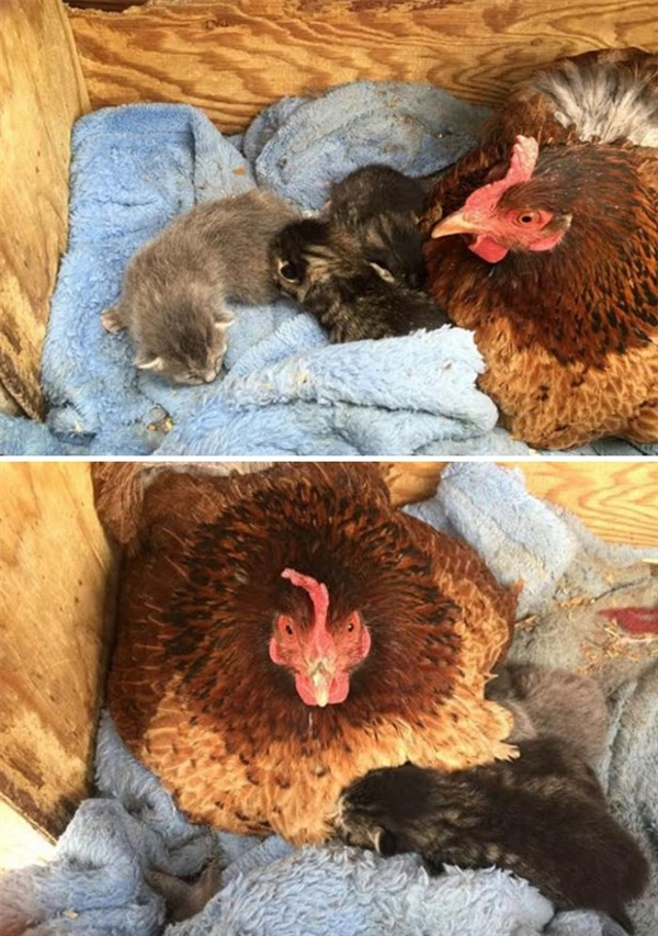 有图有真相 母鸡是动物世界最包容的母亲