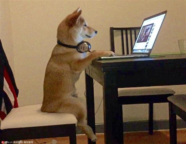 成精了!柴犬模仿主人坐着看视频:这小短腿……