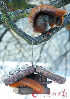 在波兰首都华沙的瓦津基公园,一只松鼠蜷缩在树上抵抗严寒。