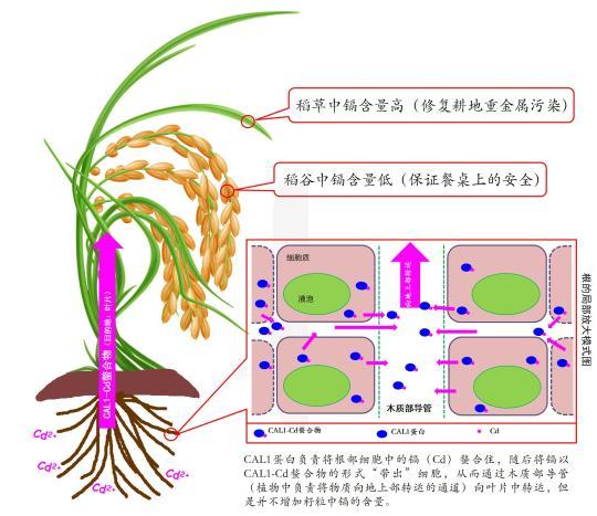 """中国科学家发现水稻控""""毒""""新机制有助防控""""镉大米"""""""