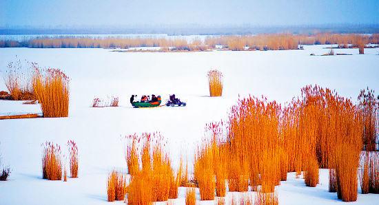 宁夏沙湖景区油画般的北国风光,金色的芦苇与白雪相映成趣