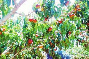 泸西油桃挂满枝。陶园园摄