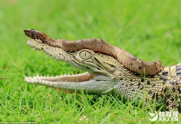 大胆小蛇骑到食人鳄头上:蛇头伸入鳄鱼口中